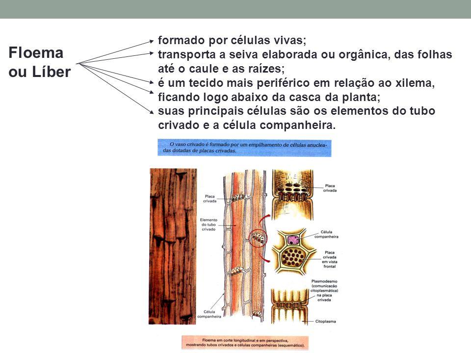 Floema ou Líber formado por células vivas; transporta a seiva elaborada ou orgânica, das folhas até o caule e as raízes; é um tecido mais periférico em relação ao xilema, ficando logo abaixo da casca da planta; suas principais células são os elementos do tubo crivado e a célula companheira.