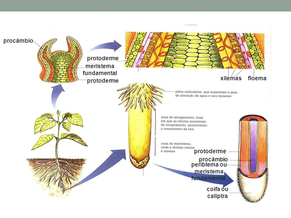 floemaxilemas procâmbio meristema fundamental protoderme coifa ou caliptra periblema ou meristema fundamental procâmbio protoderme