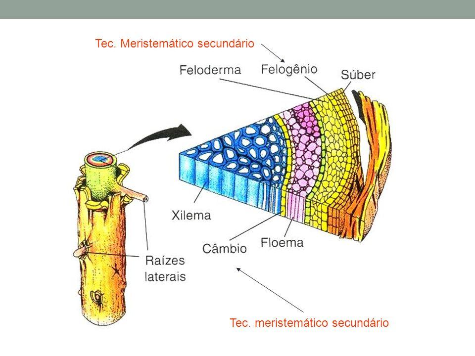 Tec. Meristemático secundário Tec. meristemático secundário