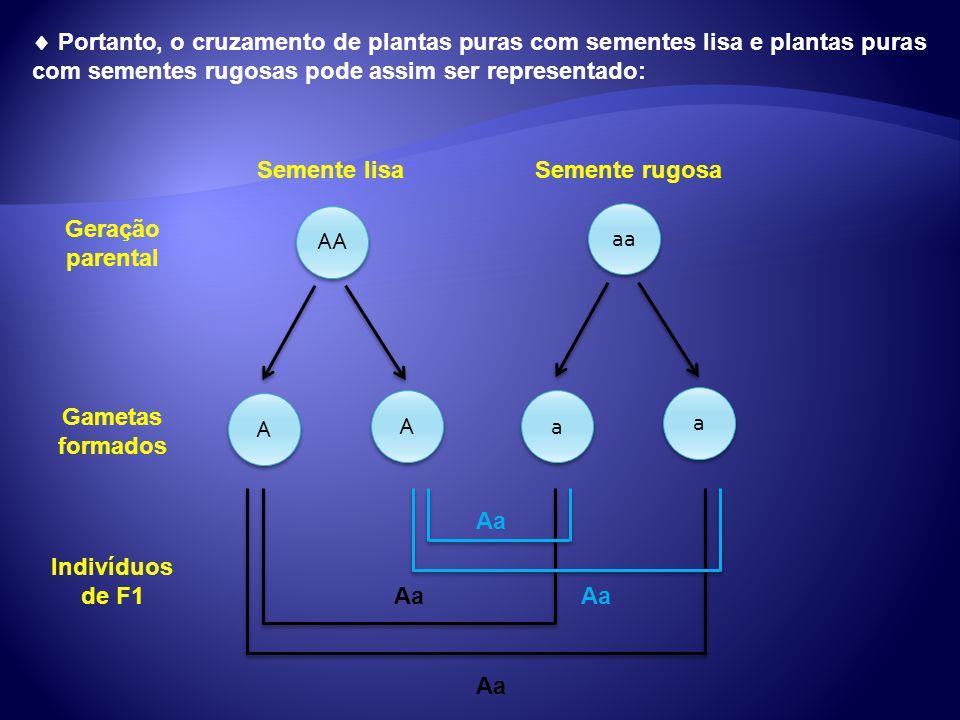 Portanto, o cruzamento de plantas puras com sementes lisa e plantas puras com sementes rugosas pode assim ser representado: AA A A A A aa a a a a Seme