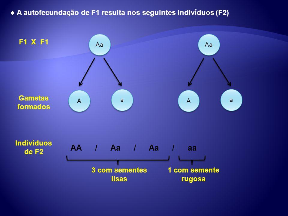 A autofecundação de F1 resulta nos seguintes indivíduos (F2) Aa A A a a A A a a Gametas formados F1 X F1 Indivíduos de F2 AA / Aa / Aa / aa 3 com seme