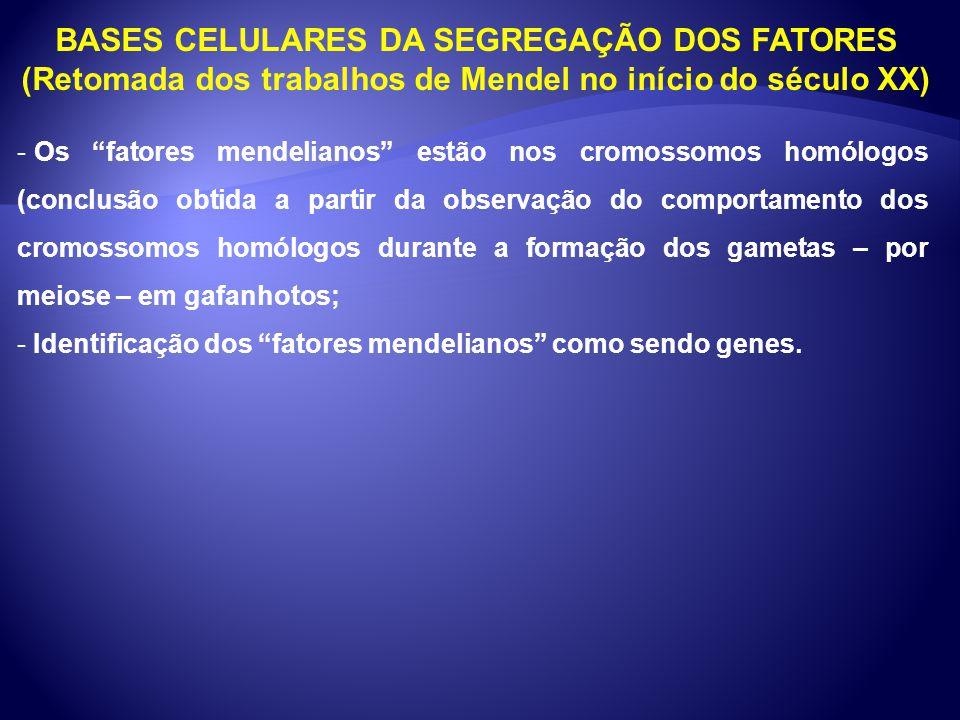 BASES CELULARES DA SEGREGAÇÃO DOS FATORES (Retomada dos trabalhos de Mendel no início do século XX) - Os fatores mendelianos estão nos cromossomos hom