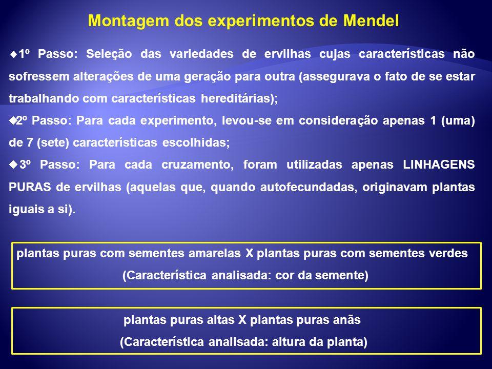Montagem dos experimentos de Mendel 1º Passo: Seleção das variedades de ervilhas cujas características não sofressem alterações de uma geração para ou