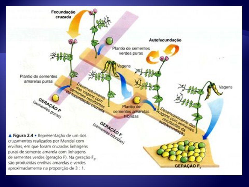 TRAÇO DOMINANTE Presente nos indivíduos híbridos da F1 Cor amarela da semente TRAÇO DOMINANTE Presente nos indivíduos híbridos da F1 Cor amarela da semente TRAÇO RECESSIVO Ausente nos indivíduos híbridos da F1 Cor verde da semente TRAÇO RECESSIVO Ausente nos indivíduos híbridos da F1 Cor verde da semente