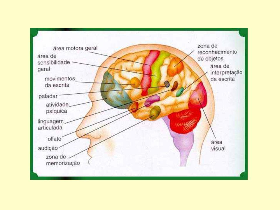 DivisãoPartes Funções Gerais Sistema Nervoso Central (SNC) Sistema Nervoso Periférico (SNP) Encéfalo e Medula Espinhal Nervos e gânglios Processamento e Integração de informações Condução de informações entre órgão receptores de estímulos, o SNC e órgãos efetores (músculos, por ex.) Organização do Sistema Nervoso Humano