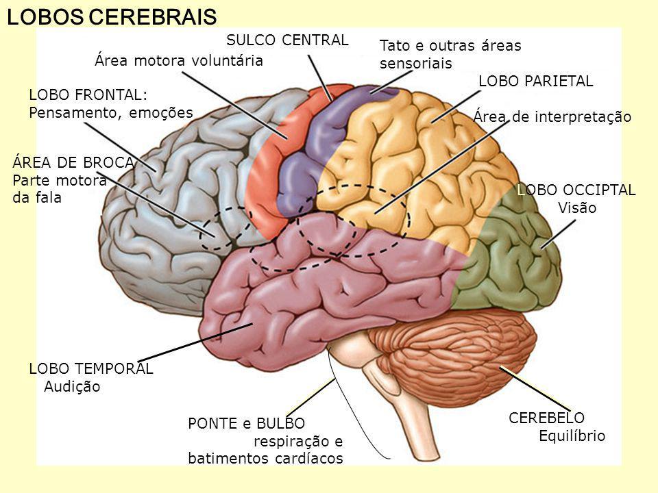 ARCO REFLEXO DORSAL VENTRAL Substância branca Substância cinzenta MEDULA corpo celular localizado no gânglio nio interneurônio neurônio sensitivo neurônio motor ESTÍMULO Receptor Corpúsculo de Paccini Músculo efetor