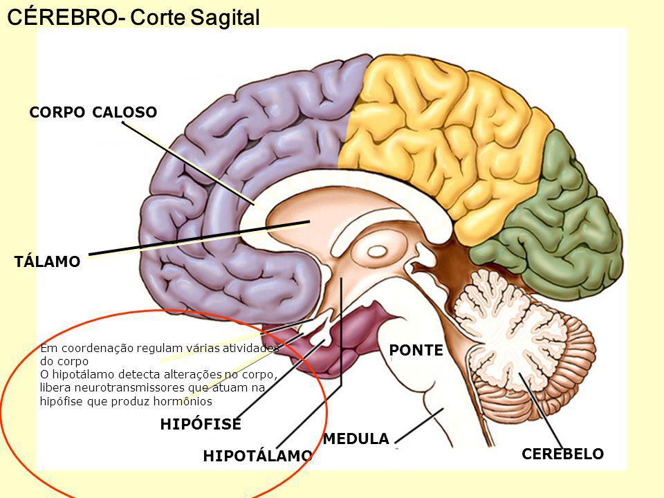 PRINCIPAIS DISTÚRBIOS DO SIST.NERVOSO Esclerose múltipla: uma doença auto-imune.