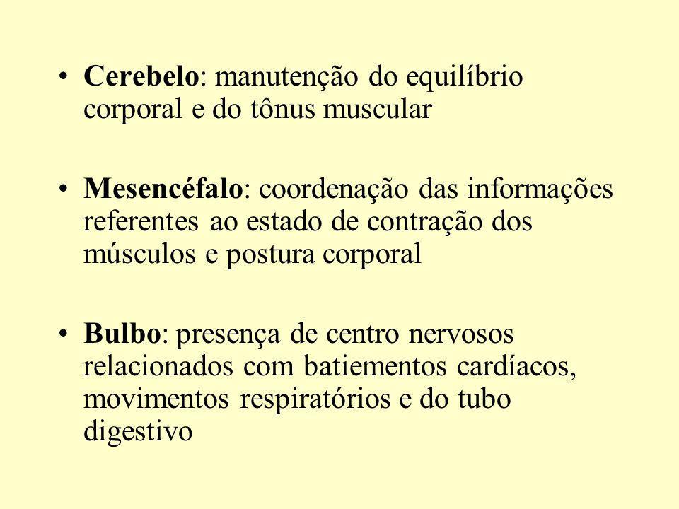 Cerebelo: manutenção do equilíbrio corporal e do tônus muscular Mesencéfalo: coordenação das informações referentes ao estado de contração dos músculos e postura corporal Bulbo: presença de centro nervosos relacionados com batiementos cardíacos, movimentos respiratórios e do tubo digestivo