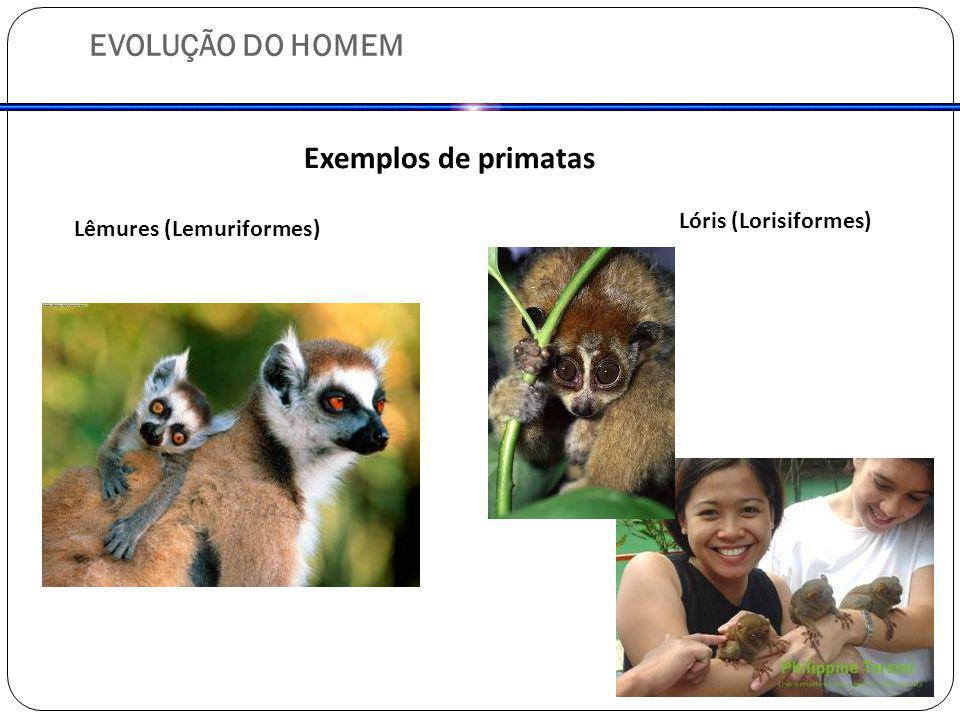 EVOLUÇÃO DO HOMEM Exemplos de primatas Lêmures (Lemuriformes) Lóris (Lorisiformes)