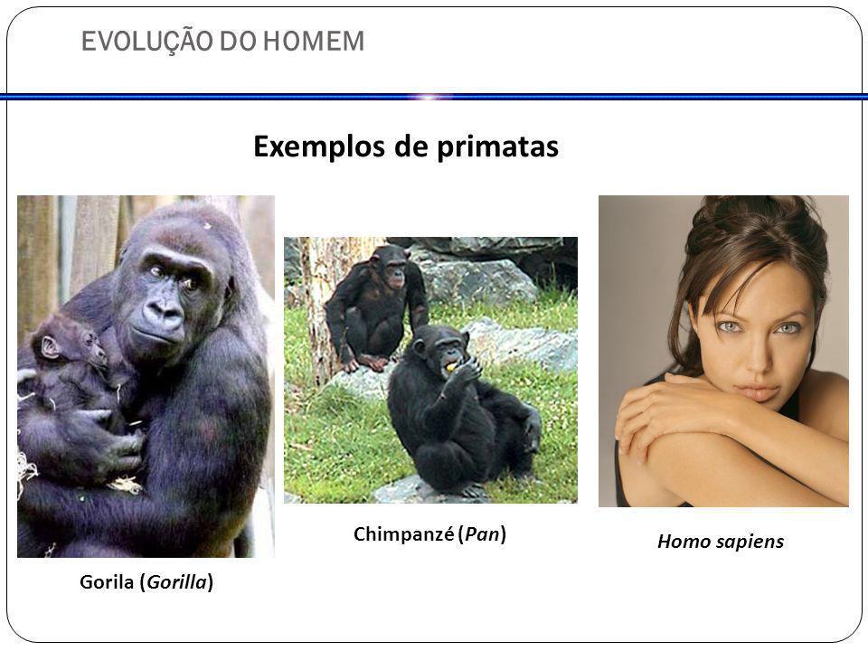 EVOLUÇÃO DO HOMEM Exemplos de primatas Gorila (Gorilla) Chimpanzé (Pan) Homo sapiens