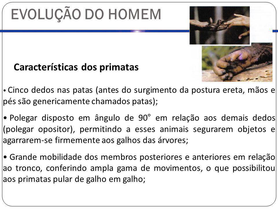 EVOLUÇÃO DO HOMEM Características dos primatas Cinco dedos nas patas (antes do surgimento da postura ereta, mãos e pés são genericamente chamados pata