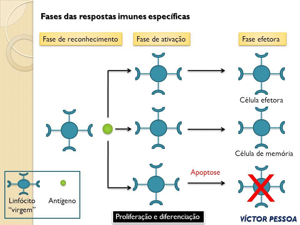 Fases das respostas imunes específicas VÍCTOR PESSOA Fase de reconhecimentoFase de ativaçãoFase efetora Linfócito virgem Antígeno Célula efetora Célul