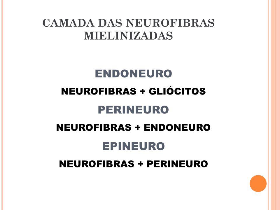 ENDONEURO NEUROFIBRAS + GLIÓCITOS PERINEURO NEUROFIBRAS + ENDONEURO EPINEURO NEUROFIBRAS + PERINEURO CAMADA DAS NEUROFIBRAS MIELINIZADAS