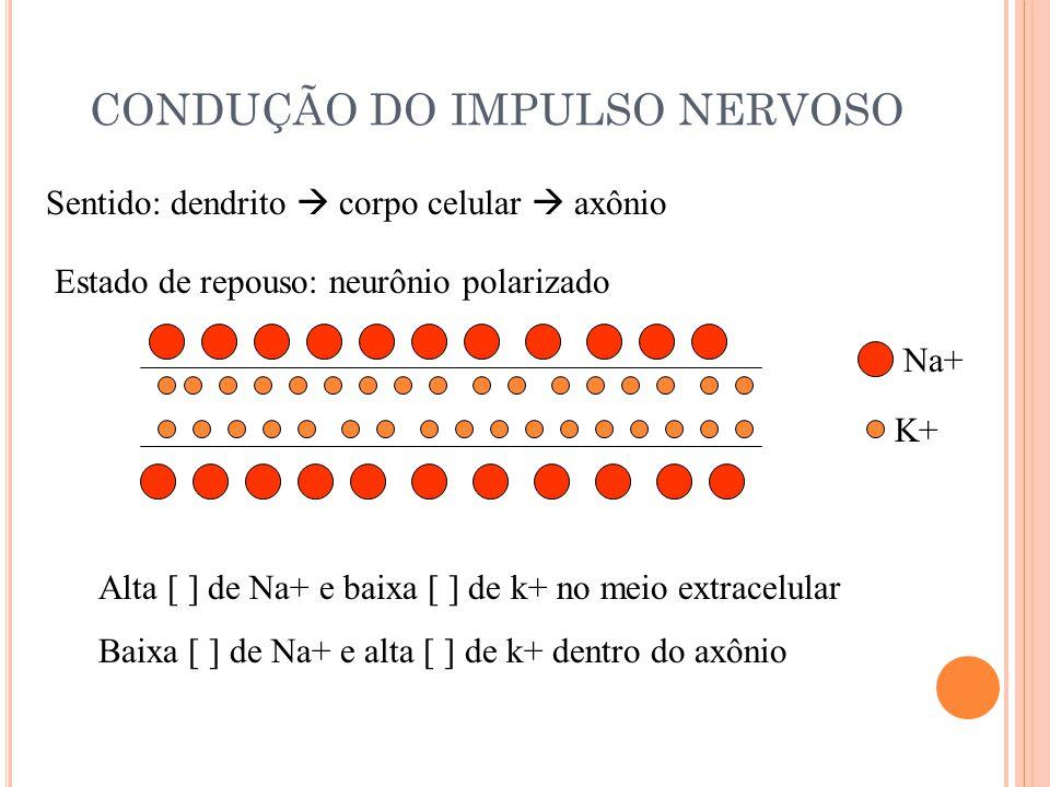 CONDUÇÃO DO IMPULSO NERVOSO Sentido: dendrito corpo celular axônio Estado de repouso: neurônio polarizado Alta [ ] de Na+ e baixa [ ] de k+ no meio extracelular Baixa [ ] de Na+ e alta [ ] de k+ dentro do axônio Na+ K+