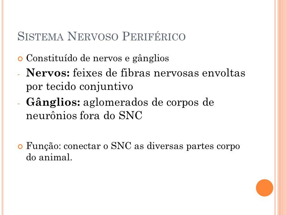 S ISTEMA N ERVOSO P ERIFÉRICO Constituído de nervos e gânglios - Nervos: feixes de fibras nervosas envoltas por tecido conjuntivo - Gânglios: aglomerados de corpos de neurônios fora do SNC Função: conectar o SNC as diversas partes corpo do animal.