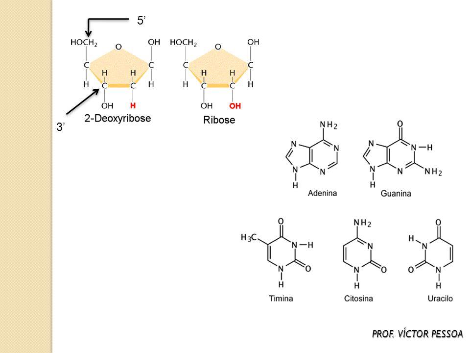 DNA – CARACTERÍSTICAS ESTRUTURAIS - Molécula formada pela união de duas cadeias (fitas) de polinucleotídeos (dupla – hélice); - Os nucleotídeos formadores apresentam a pentose DESOXIRRIBOSE; - Em uma mesma fita os nucleotídeos estão unidos uns aos outros por meio de ligações do tipo FOSFODIÉSTER (entre o carbono 5 da pentose de um nucleotídeo e o grupo fosfato do nucleotídeo adjacente); - As duas fitas unem-se por meio de PONTES DE HIDROGÊNIO estabelecidas entre as bases nitrogenadas.