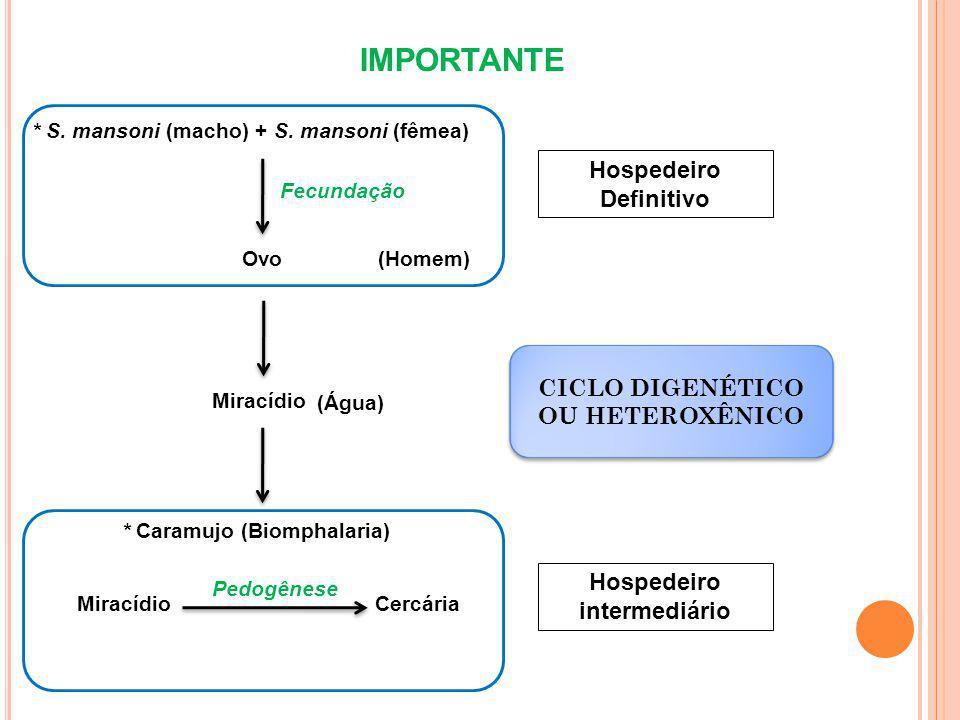 IMPORTANTE * S.mansoni (macho) + S.
