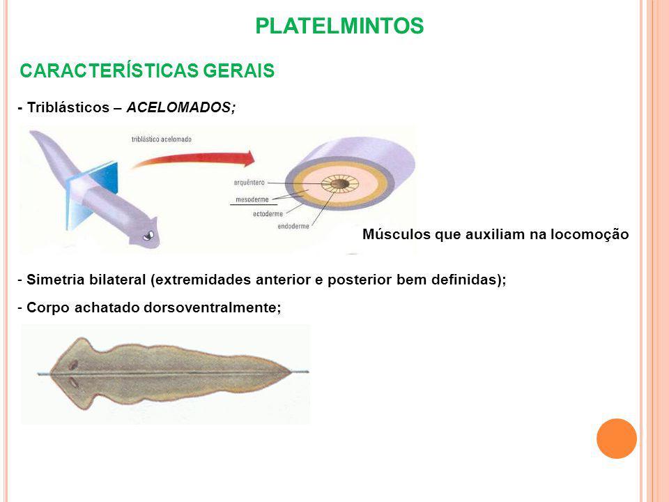 PLATELMINTOS CARACTERÍSTICAS GERAIS - Triblásticos – ACELOMADOS; - Simetria bilateral (extremidades anterior e posterior bem definidas); - Corpo achatado dorsoventralmente; Músculos que auxiliam na locomoção