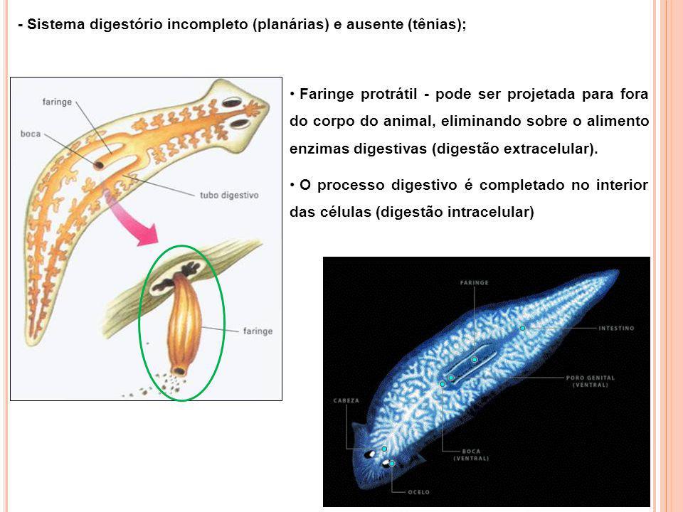 - Sistema nervoso formado por gânglios cerebrais, de onde partem cordões nervosos que percorrem longitudinalmente o corpo do animal; Detalhe da cabeça de uma planária exibindo um par de ocelos – estruturas fotorreceptoras.