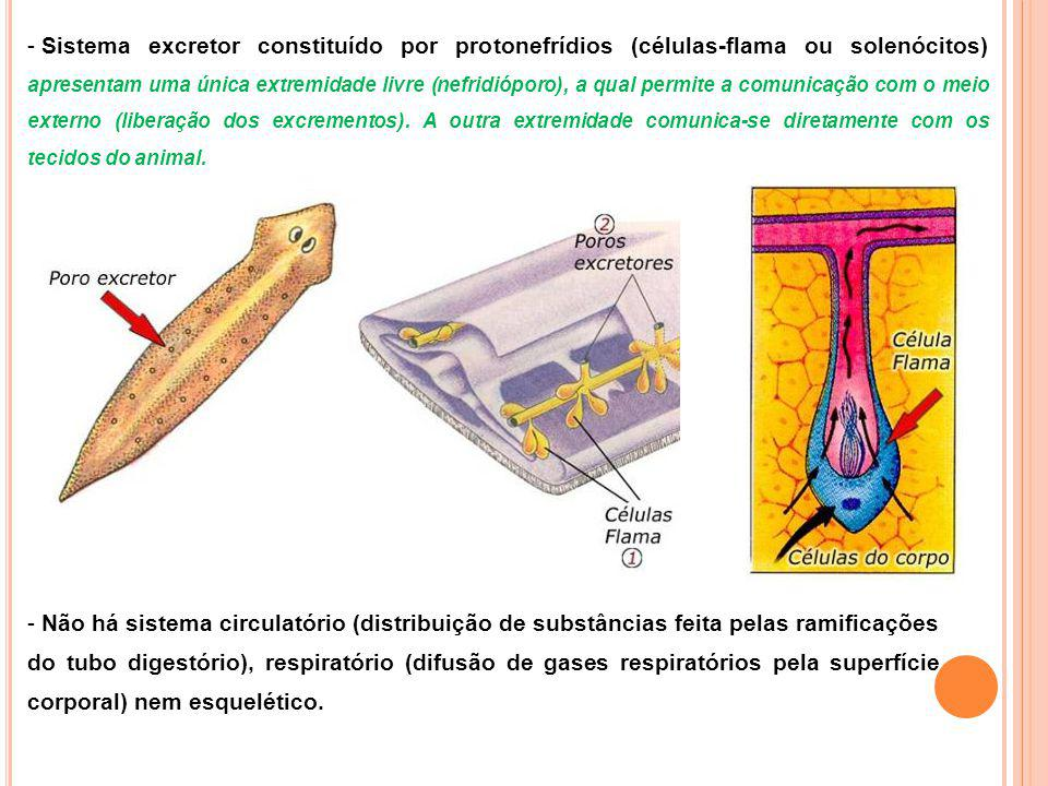 - Sistema excretor constituído por protonefrídios (células-flama ou solenócitos) apresentam uma única extremidade livre (nefridióporo), a qual permite a comunicação com o meio externo (liberação dos excrementos).