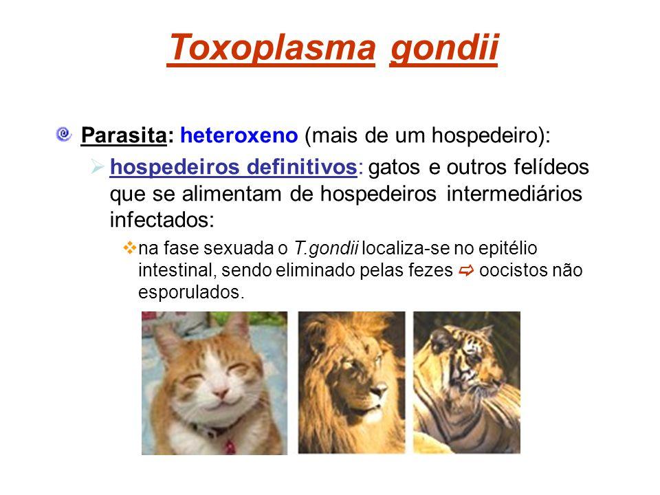 Toxoplasma gondii Parasita: heteroxeno (mais de um hospedeiro): hospedeiros definitivos: gatos e outros felídeos que se alimentam de hospedeiros inter