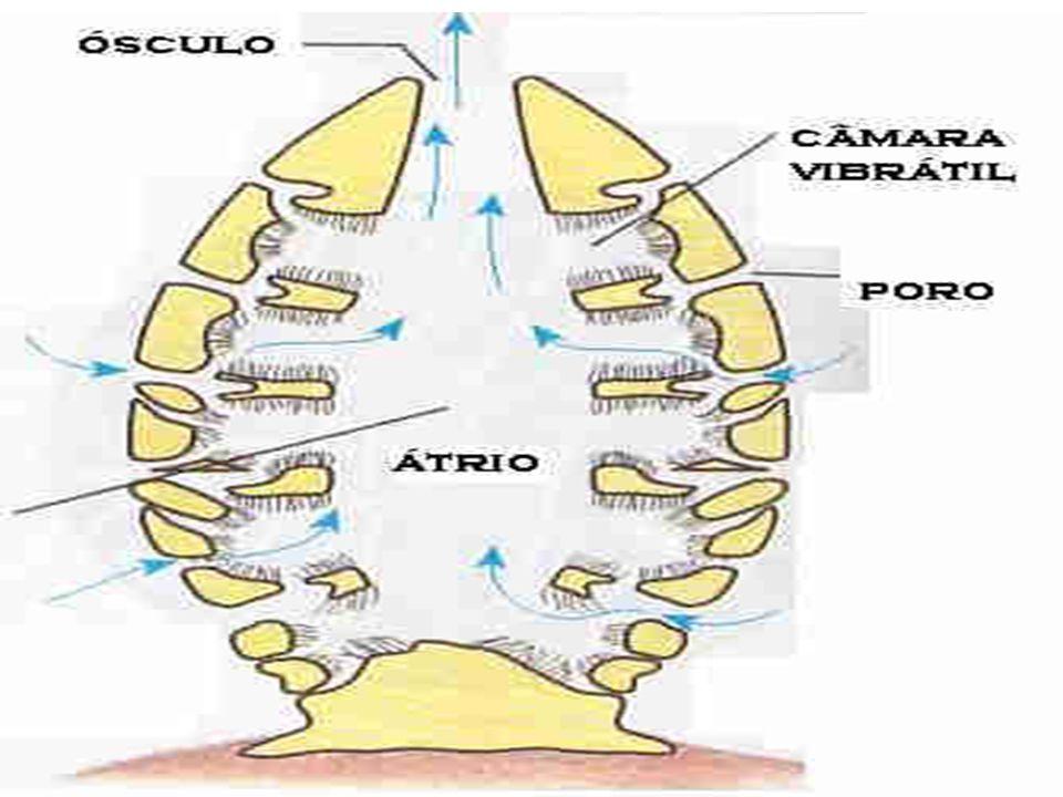 Tipo e forma de respiração As esponjas não apresentam sistema digestório, respiratório, excretor e nervoso. Todas as trocas de substâncias solúveis sã
