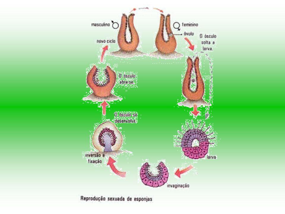 A reprodução sexuada - por meio de gametas - dos poríferos ocorre de uma maneira bastante interessante, pois a fecundação é indireta. Isto porque o es