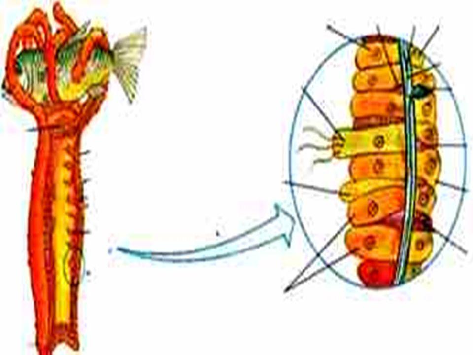 Forma e tipo de alimentação Em todos os animais deste filo existem células especializadas, os cnidoblastos, para a captura do alimento e proteção.