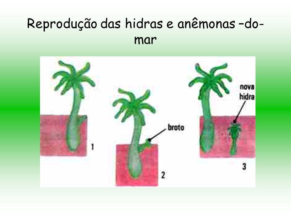 Cada zigoto pode formar uma microscópica larva que se locomove por cílios e se desenvolve originando um novo indivíduo.