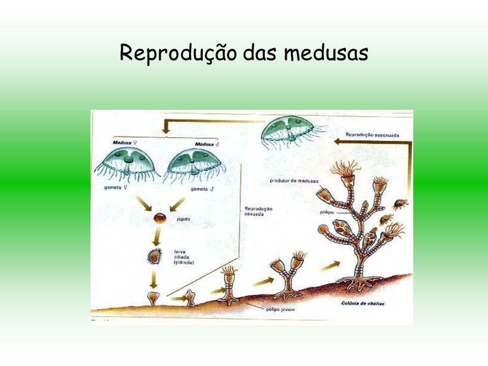 Reprodução das hidras e anêmonas –do- mar