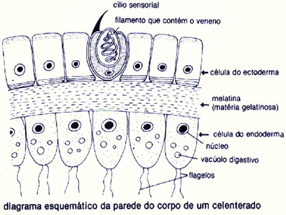 Presença ou não de esqueleto Os cnidários são um pouco mais complexos, que já apresentam dois tecidos, um interno e outro externo, formando a parede corporal, ficando entre eles uma camada de substâncias gelatinosas.