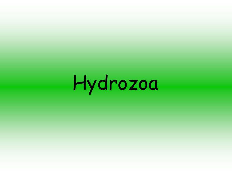 Representantes Hydrozoa - as hidras, algumas medusas, a garrafa-azul (caravela-portuguesa);