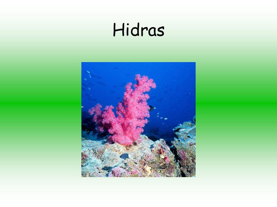 Hydrozoa