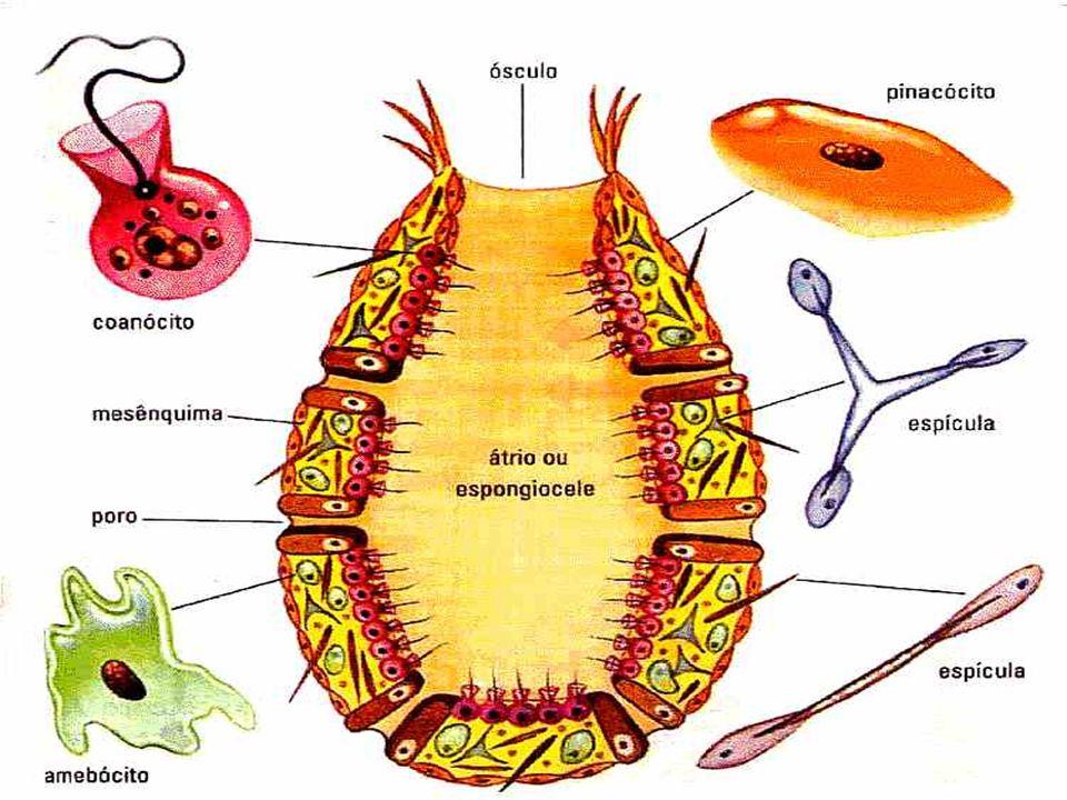 Poríferos Principais características O filo Porífero abriga animais aquáticos, geralmente marinhos, sem tecidos ou órgãos definidos e sésseis, e se en