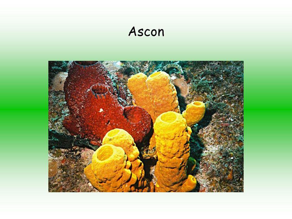 Sicon Grupos de esponjas: Sicon, Ascon e Leucon