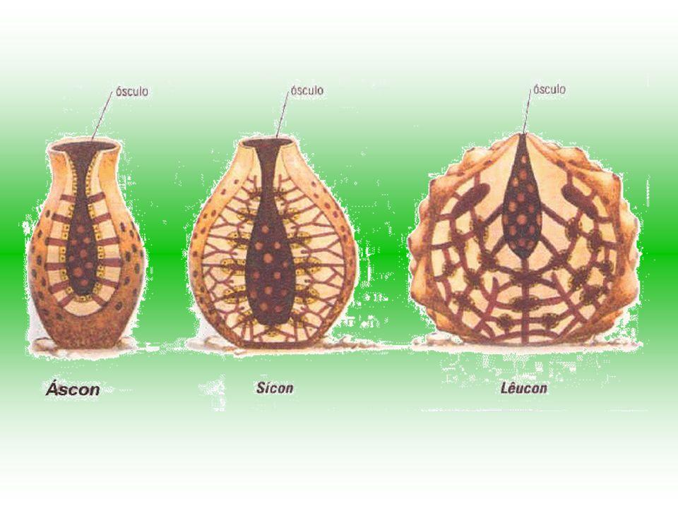 Ascon: esponja mais simples. Sicon: dobramento da parede corporal, formam numerosos tubos radiais que possuem em seu interior um canal radial, onde se