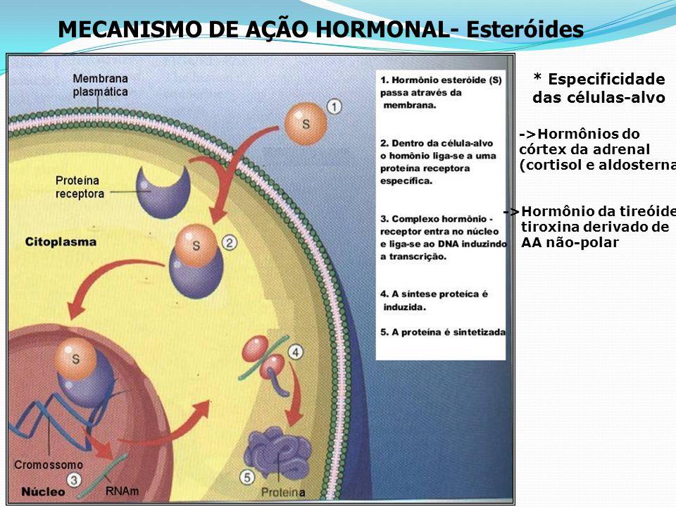 SISTEMA ENDÓCRINO HUMANO Paratireóides Adrenais (supra- renais) Pâncreas Tireóide Hipófise Ovários (fêmeas) Testículos (machos)