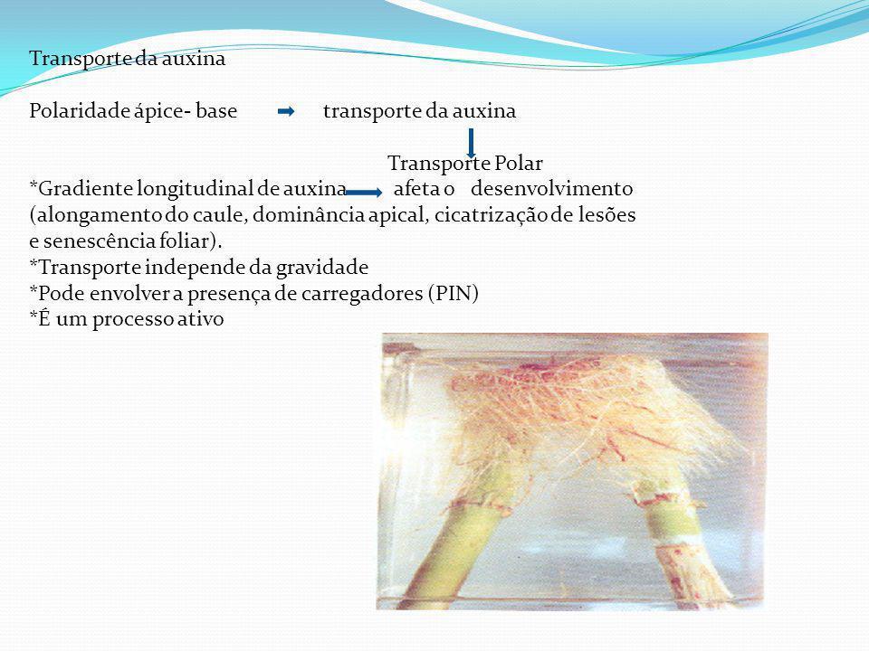 Transporte da auxina Polaridade ápice- base transporte da auxina Transporte Polar *Gradiente longitudinal de auxina afeta o desenvolvimento (alongamento do caule, dominância apical, cicatrização de lesões e senescência foliar).