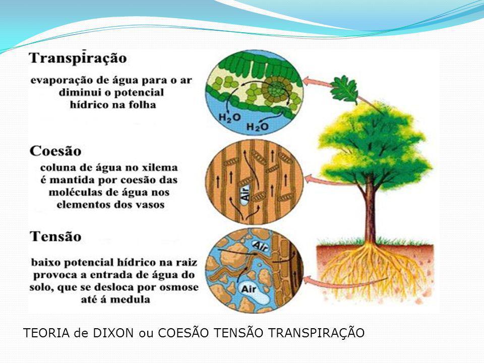 FLOEMA(LÍBER) : CONDUÇÃO DE SEIVA ELABORADA SEIVA ELABORADA : glicose(açucar) Sentido da Condução: folhas demais partes da planta.