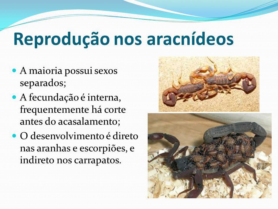 Reprodução nos aracnídeos A maioria possui sexos separados; A fecundação é interna, frequentemente há corte antes do acasalamento; O desenvolvimento é