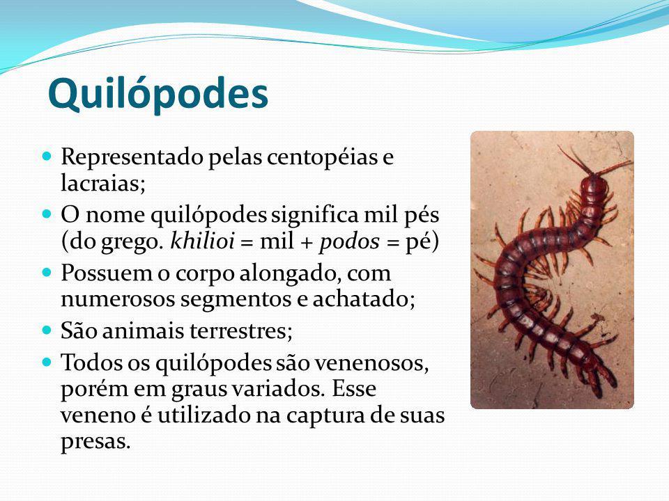 Quilópodes Representado pelas centopéias e lacraias; O nome quilópodes significa mil pés (do grego. khilioi = mil + podos = pé) Possuem o corpo alonga