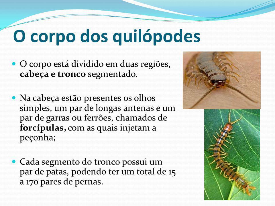 O corpo dos quilópodes O corpo está dividido em duas regiões, cabeça e tronco segmentado. Na cabeça estão presentes os olhos simples, um par de longas