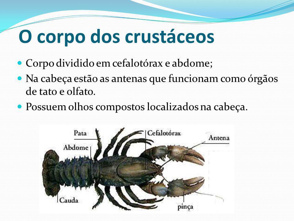 O corpo dos crustáceos Corpo dividido em cefalotórax e abdome; Na cabeça estão as antenas que funcionam como órgãos de tato e olfato. Possuem olhos co