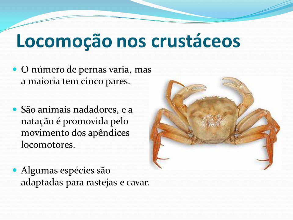 Locomoção nos crustáceos O número de pernas varia, mas a maioria tem cinco pares. São animais nadadores, e a natação é promovida pelo movimento dos ap