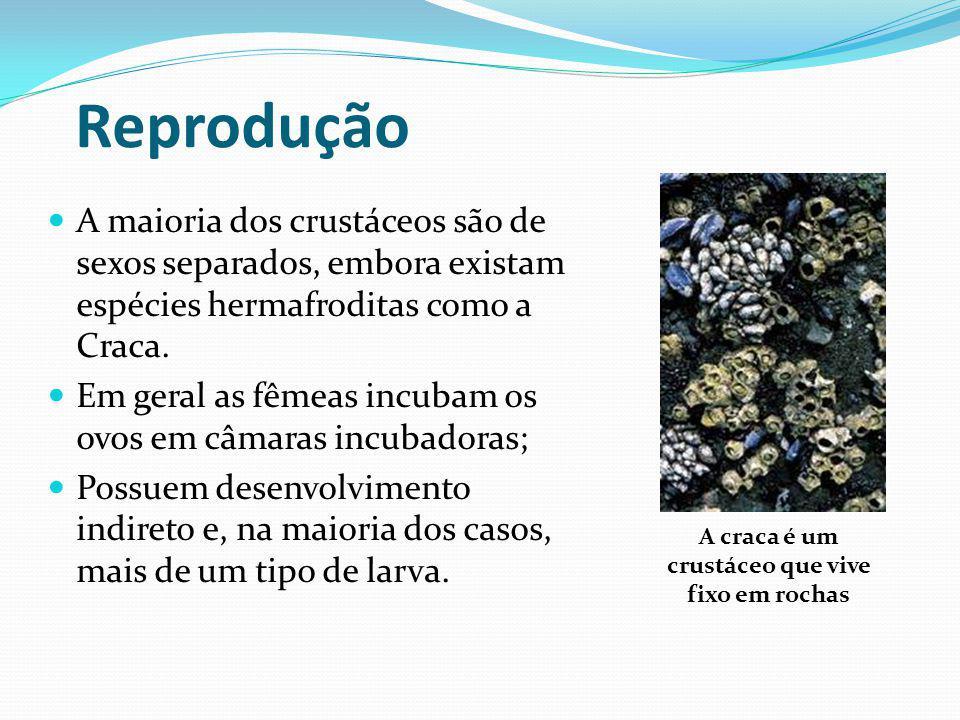Reprodução A maioria dos crustáceos são de sexos separados, embora existam espécies hermafroditas como a Craca. Em geral as fêmeas incubam os ovos em