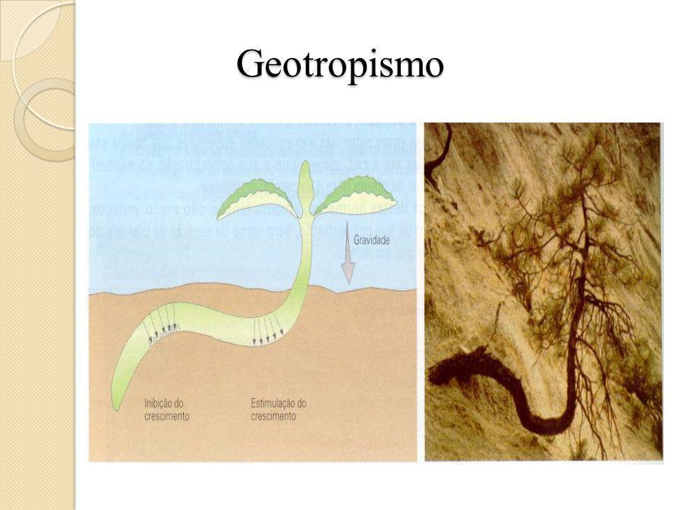 Geotropismo O geotropismo é um resposta dos órgãos vegetais à força da gravidade. Quando a planta é colocada em posição horizontal, o acúmulo de auxin