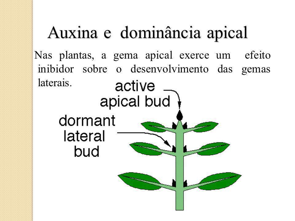 Auxina e dominância apical Nas plantas, a gema apical exerce um efeito inibidor sobre o desenvolvimento das gemas laterais.