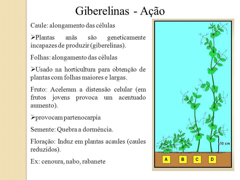 Giberelinas - Ação Caule: alongamento das células Plantas anãs são geneticamente incapazes de produzir (giberelinas).