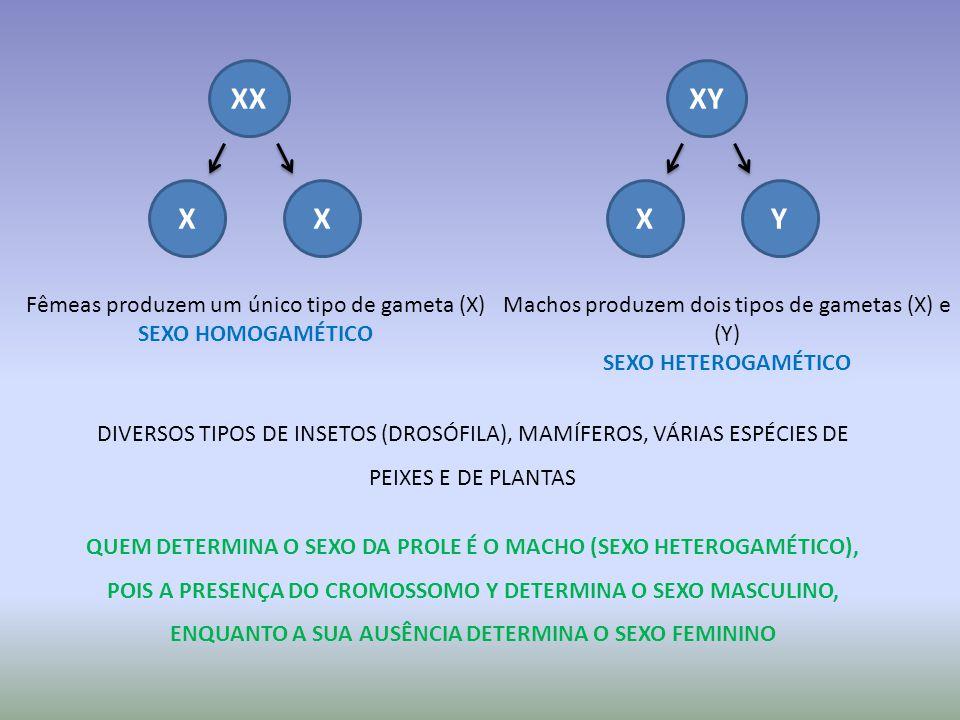 XX XX Fêmeas produzem um único tipo de gameta (X) SEXO HOMOGAMÉTICO XY XY Machos produzem dois tipos de gametas (X) e (Y) SEXO HETEROGAMÉTICO QUEM DETERMINA O SEXO DA PROLE É O MACHO (SEXO HETEROGAMÉTICO), POIS A PRESENÇA DO CROMOSSOMO Y DETERMINA O SEXO MASCULINO, ENQUANTO A SUA AUSÊNCIA DETERMINA O SEXO FEMININO DIVERSOS TIPOS DE INSETOS (DROSÓFILA), MAMÍFEROS, VÁRIAS ESPÉCIES DE PEIXES E DE PLANTAS