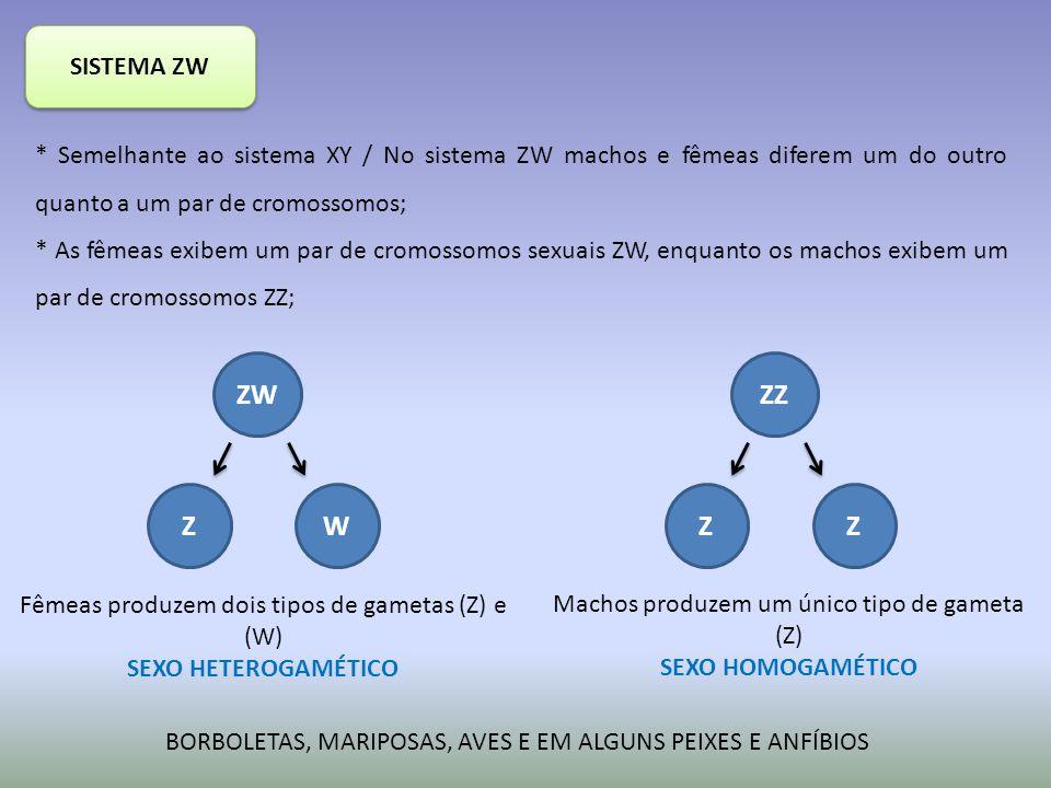 SISTEMA ZW * Semelhante ao sistema XY / No sistema ZW machos e fêmeas diferem um do outro quanto a um par de cromossomos; * As fêmeas exibem um par de cromossomos sexuais ZW, enquanto os machos exibem um par de cromossomos ZZ; ZW ZW Fêmeas produzem dois tipos de gametas (Z) e (W) SEXO HETEROGAMÉTICO ZZ ZZ Machos produzem um único tipo de gameta (Z) SEXO HOMOGAMÉTICO BORBOLETAS, MARIPOSAS, AVES E EM ALGUNS PEIXES E ANFÍBIOS